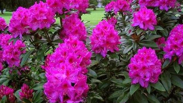 Magenta Rhododendron Flower Essence .5oz Stock Bottle