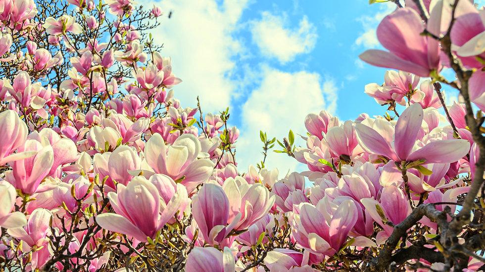 Magnolia (Magnoliaceai dawsonian) Flower Essence Stock .5oz bottle