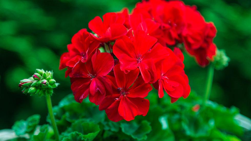 Red Geranium Flower Essence  .5 oz. Stock