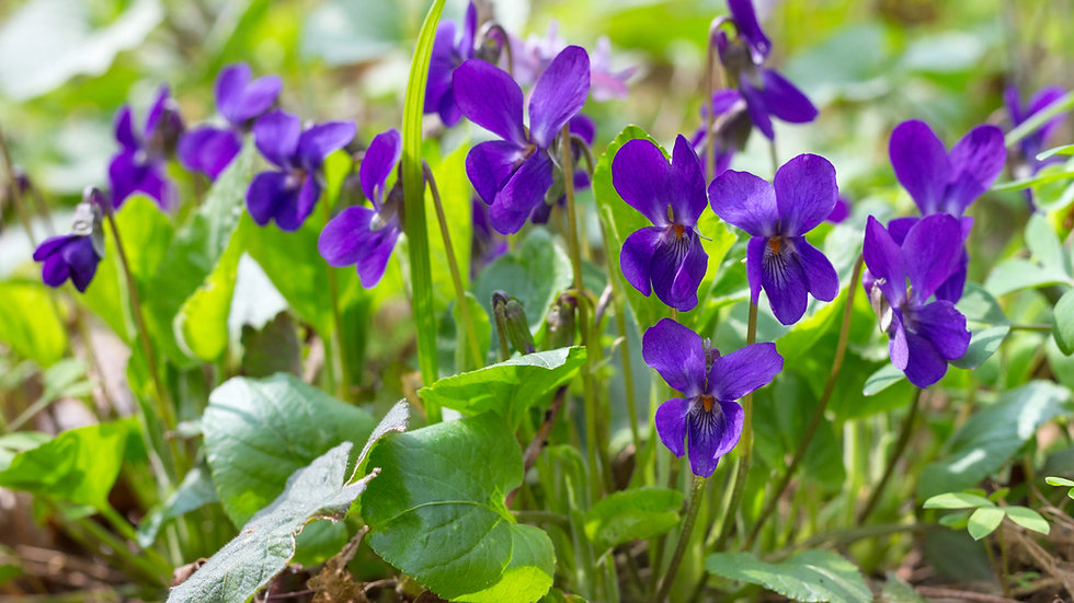 Wild Violet (Viola Odorata) Flower Essence .5oz Stock Bott