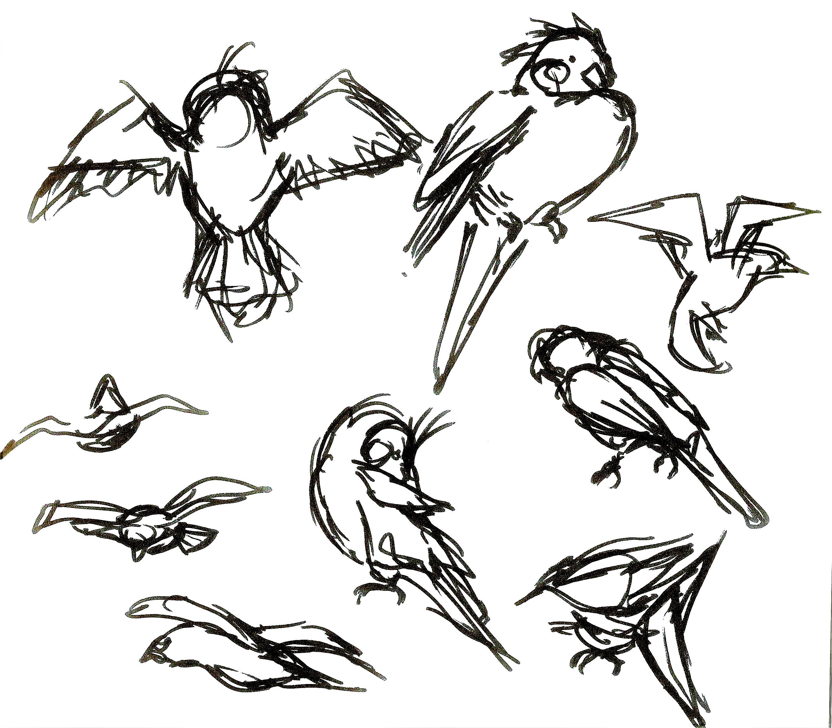 Parakeet studies