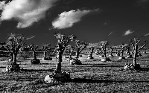 Olive Plantation Flinders