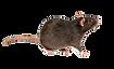 rat_edited_edited.png
