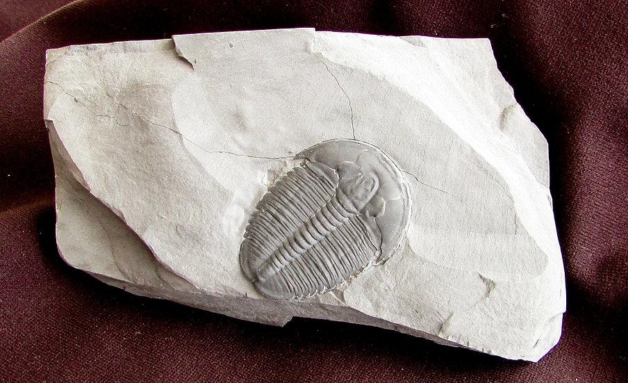Perfect Elrathia trilobite fossil