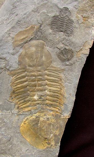 Massive Glossopleura gigantea trilobite