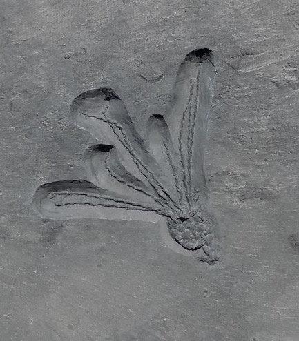 Gogia granulosa