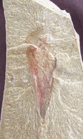 Uncommon Hyolithes whitei brachiopod