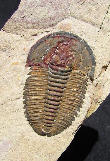 Perfect Modocia laevinucha trilobite! With Guts!