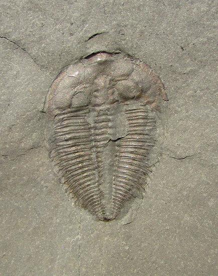 Awesome Amecephalus idahoense!