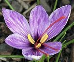 saffronflower1.jpg