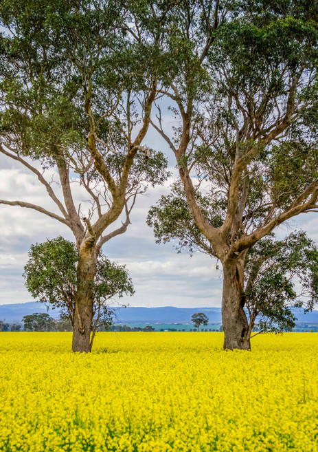 Canola and gums