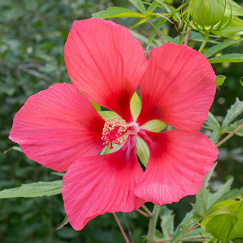 'Red Texas Star' hardy hibscus