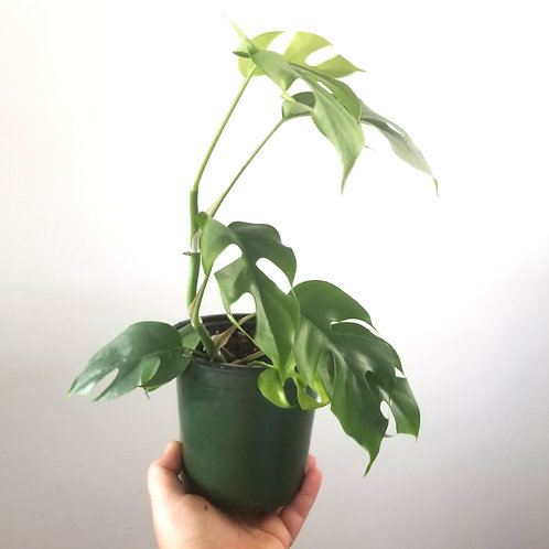 Mini Monstera (houseplant)