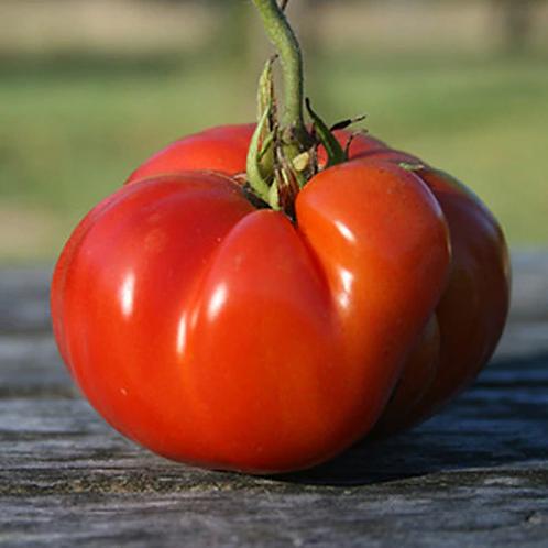 'Kanner Hoell' tomato