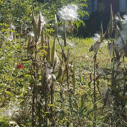 Looks like there will be no shortage of butterfly weed next year.jpg