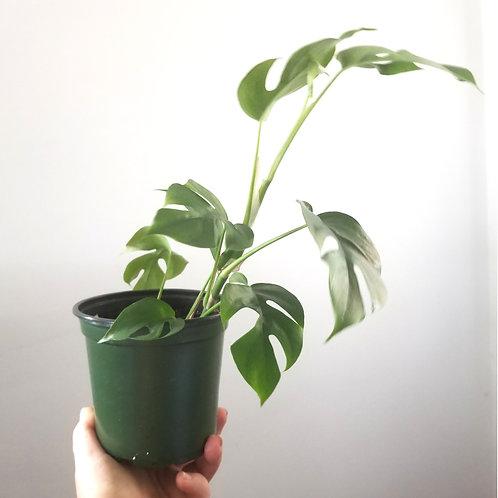 Mini Monstera (houseplant)