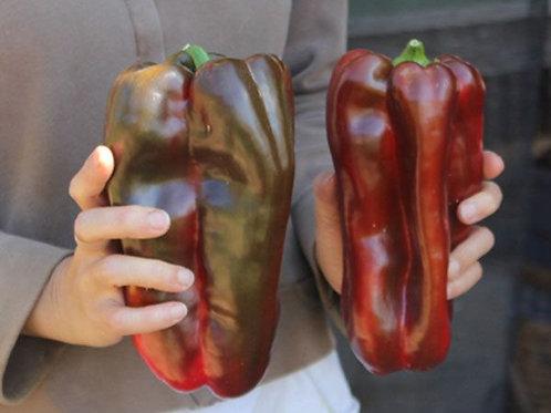 'Doux D'Espagne' pepper