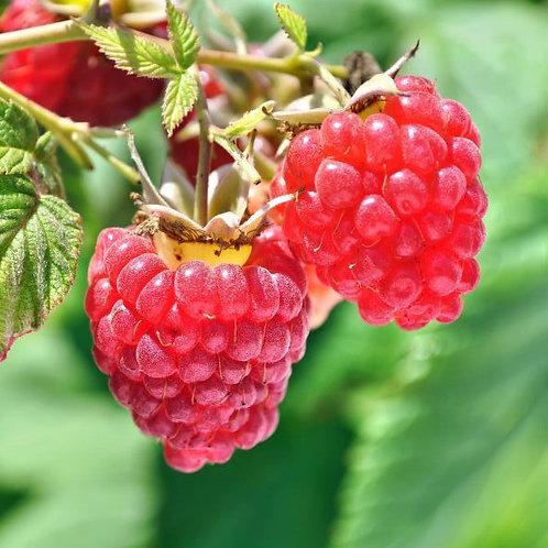 'Heritage' raspberry