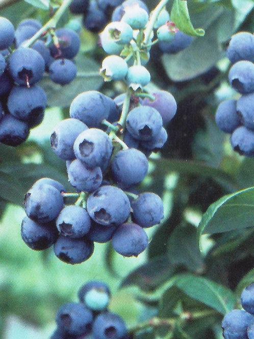 Blueberry 'Tifblue'