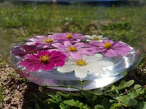 cosmos flower essence