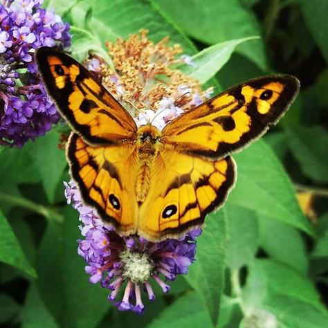 Butterfly friendly garden