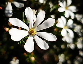 wedding bush flower essence