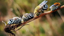 Attracting & nurturing native bees in your patch. Become a Bee Guardian.
