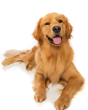 A golden retriever dog laying down.jpg