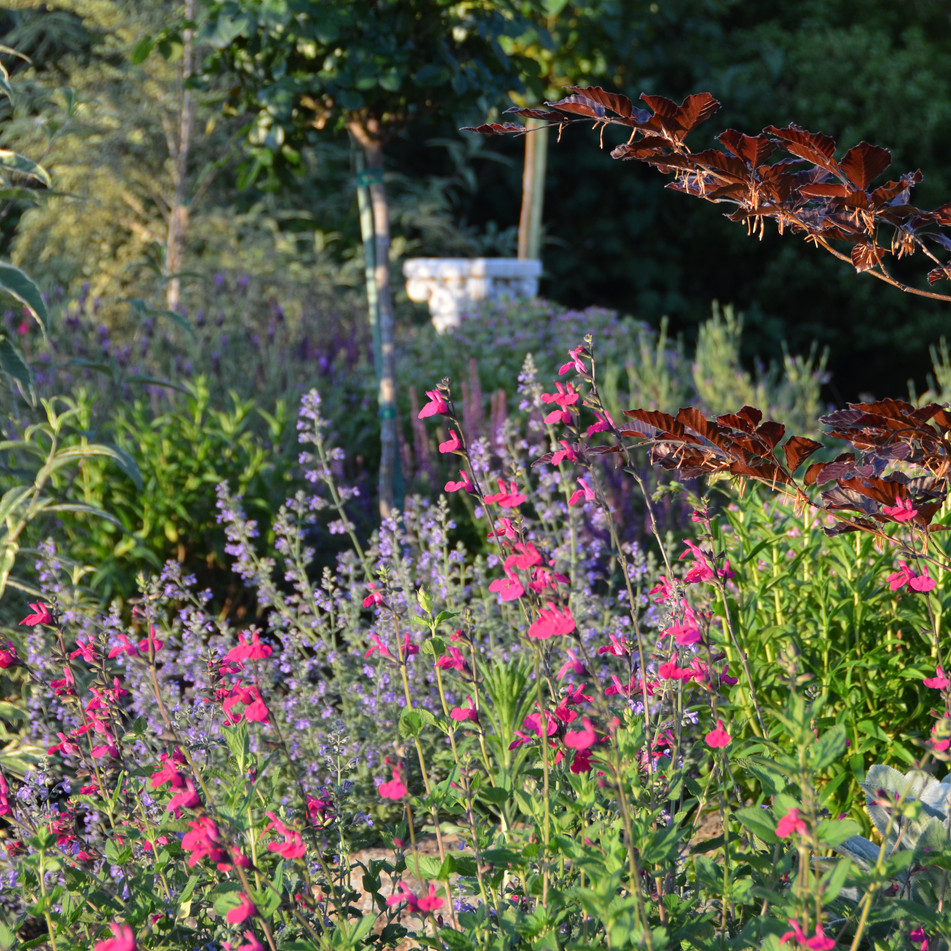 pollinator plants, salvia and catmint