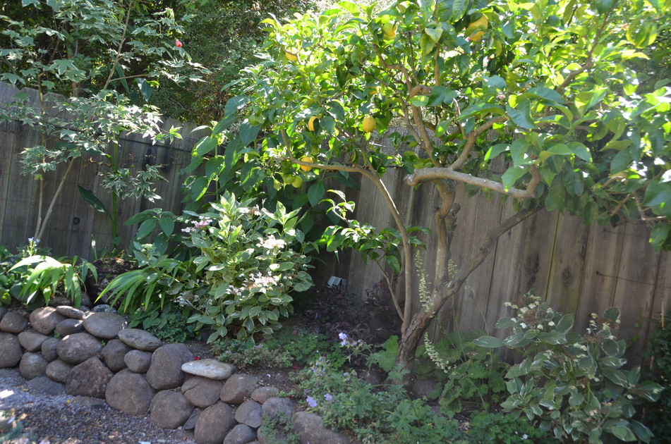 lemon tree provides cover for shade plants and fountain