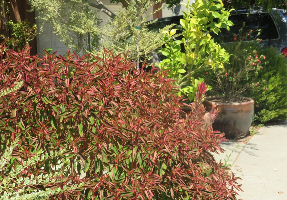 dwarf princess flower bush creates a strong foreground