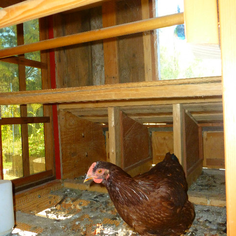 inside nesting boxes, roosts