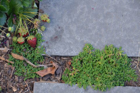 strawberry and thyme patio floor