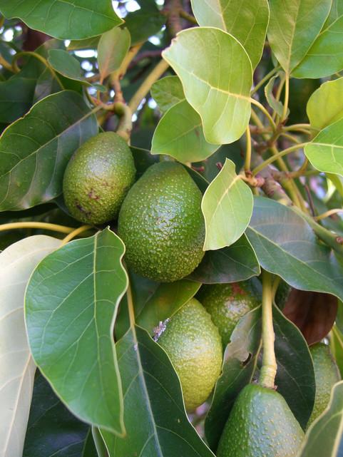 avocado makes for an evergreen tree