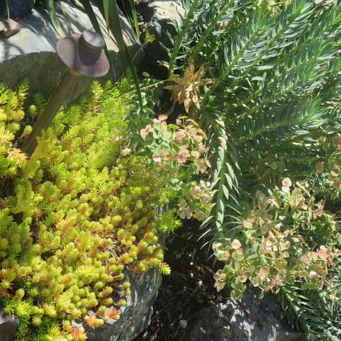 drought tolerant euphorbia provides dramatic texture