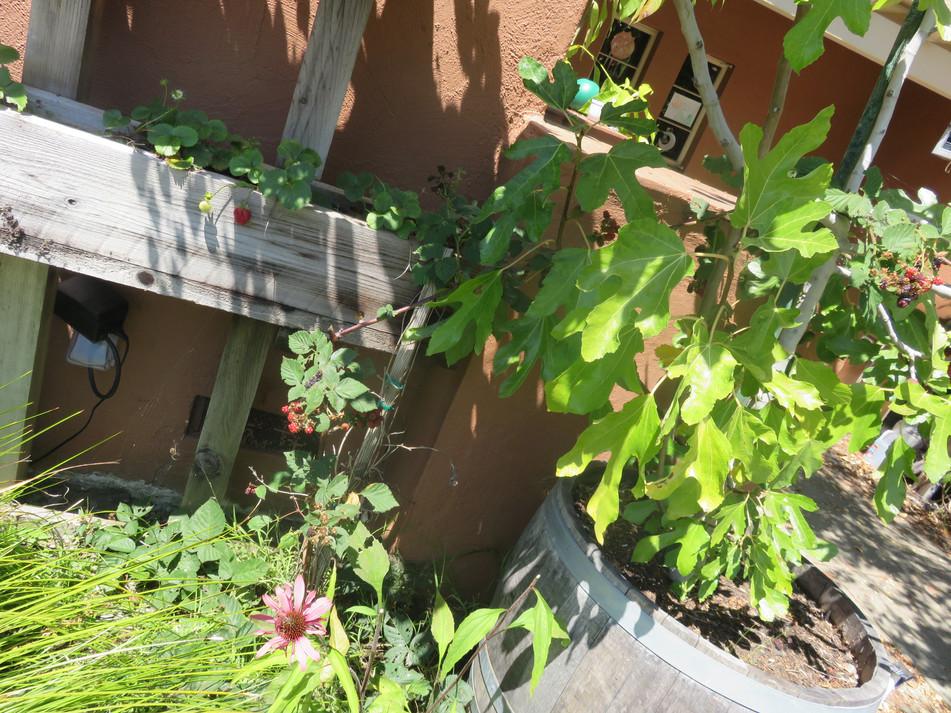 strawberries, blackberries, fig and echinacea