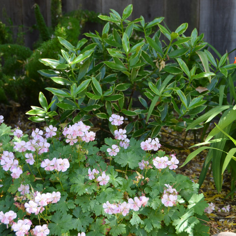 naturalized shade plants