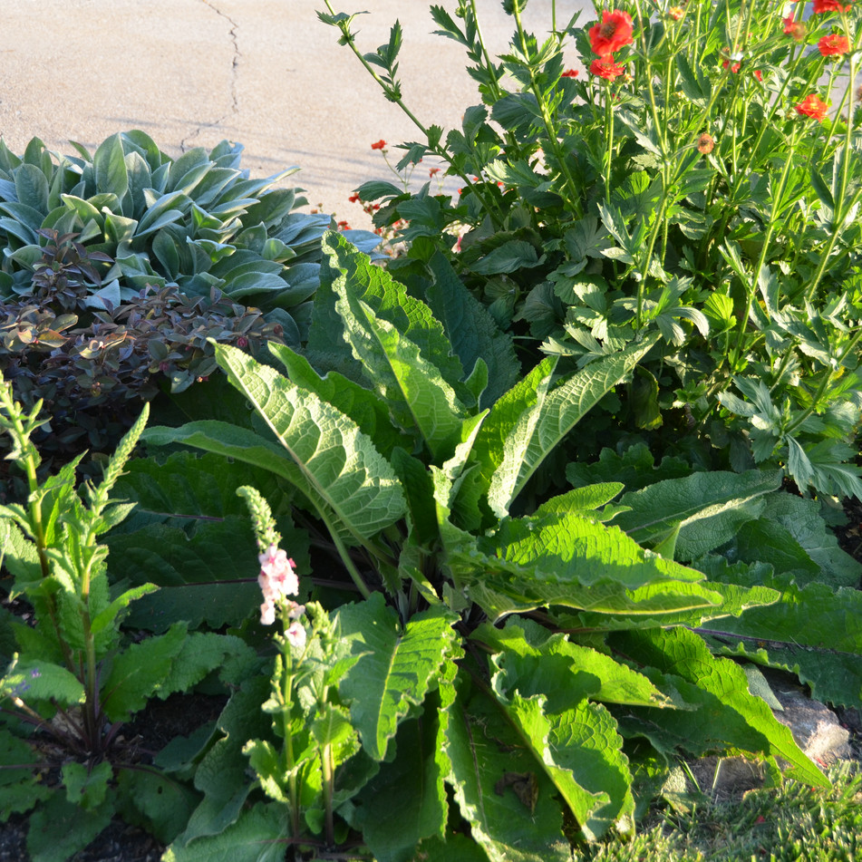 plant texture contrasts, verbascum with bold leaf