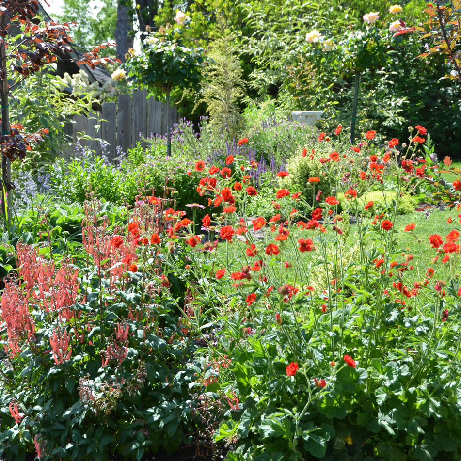 pollinator plants, phygelius and geum