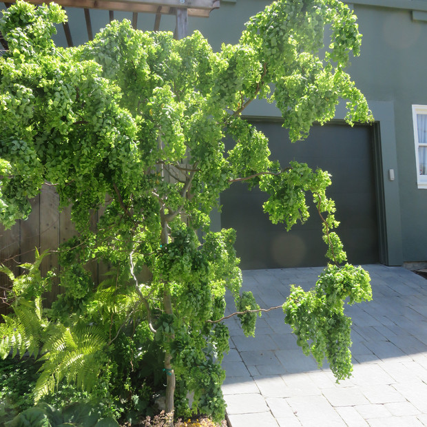 curly robinia makes a sculptural statement marking the side gate pathway