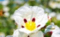 labdanum-cistus-ladanifer1_edited.jpg