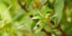 cistus-ladanifer-is-a-species-of-floweri