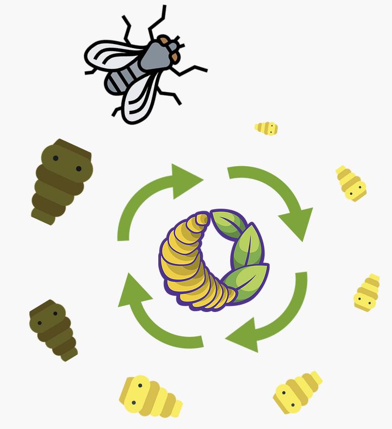 El ciclo de vida de Black Soldier Fly