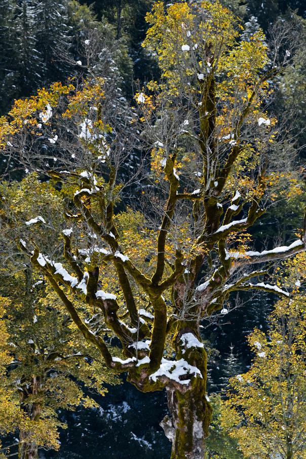 schneebedeckter Ahornbaum