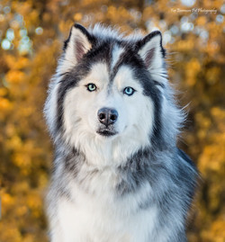 Momo the Siberian Husky
