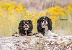 Harley and Pixy King Charles Spaniels