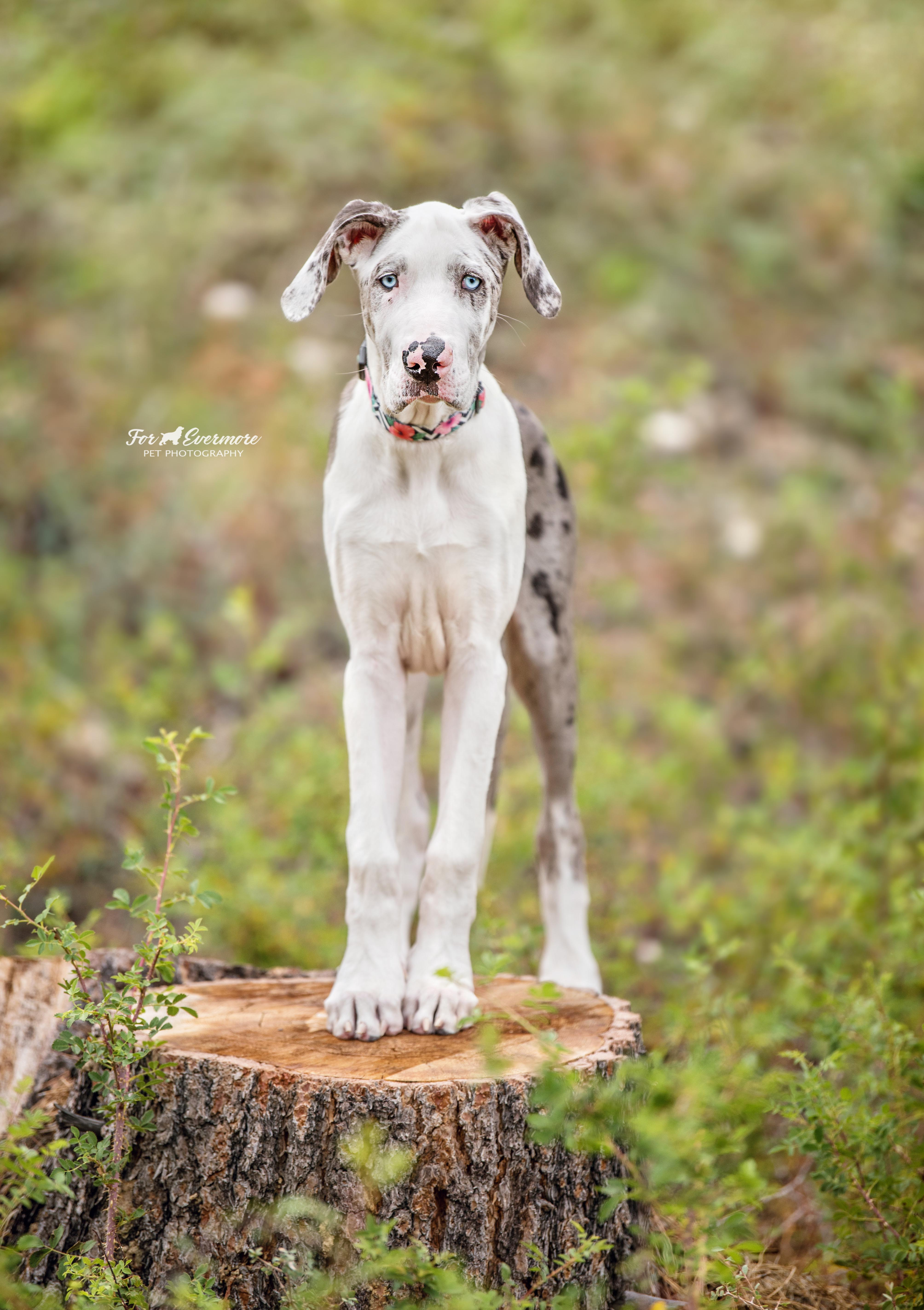 Esme the 14 week  Great Dane