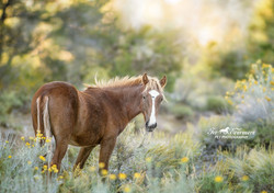 Yearling at sunset in the mountians