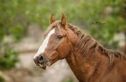 Stallion wild horse
