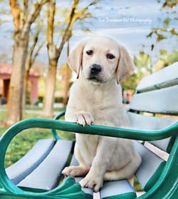 Lab puppy Charlie